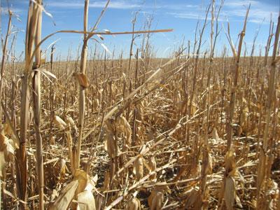 Downed corn leading to harvest complications in 2012
