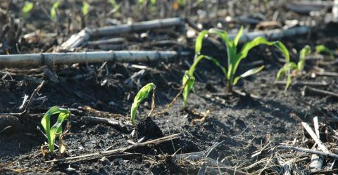 Frost-damaged corn