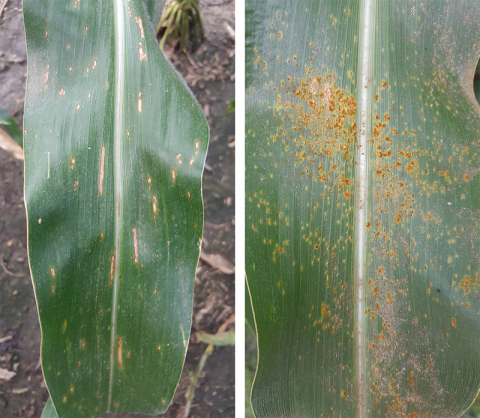 Gray leaf spot (left) and southern rust (right) in corn
