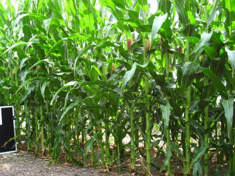 skip-row corn