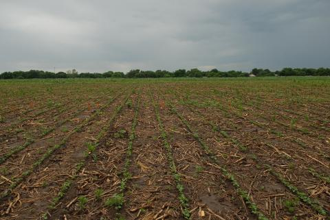 Weeds in corn