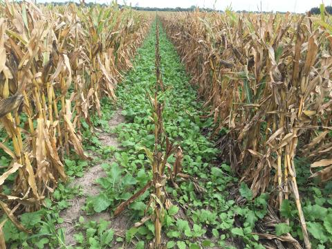Cover crops planted in corn.