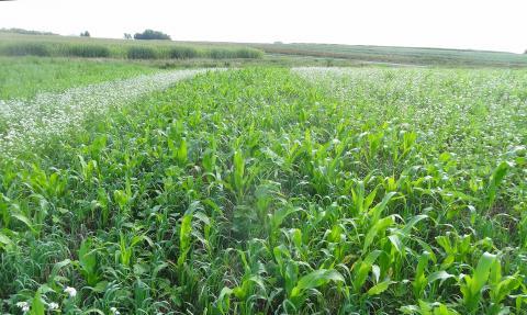 Cover crop plots