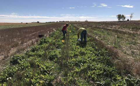 Students conducting cover crop research