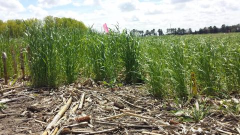 Figure 1. Early-planted rye on the left and late-planted rye on the right in a research study at the Eastern Nebraska Research and Extension Center near Mead.