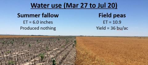 field pea comparison