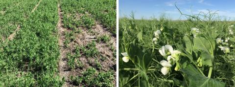 Field pea variety trial in Perkins