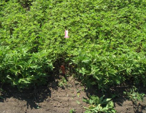 Uuncontrolled giant ragweed