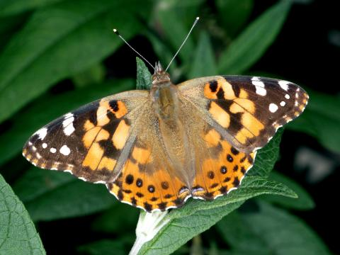 Painted lady butterfly by Jim Kalisch