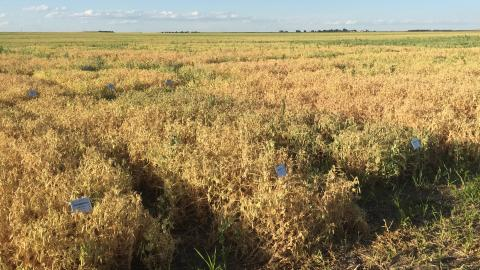 Figure 1. Field peas are mature and ready to harvest in this variety trial plot near Grant.