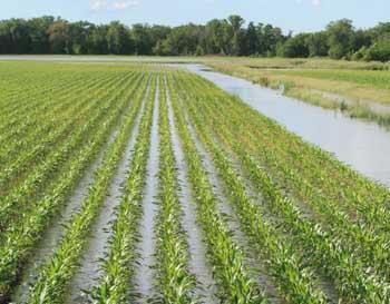 saturated corn field