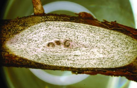 Charcoal rot in soybean