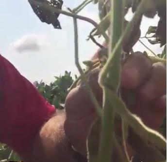 soybean stem canker