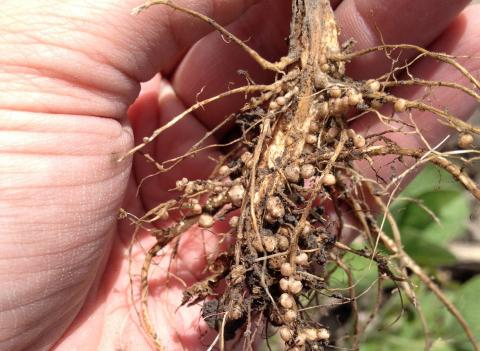 Well nodulated soybean roots