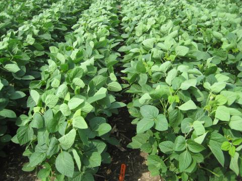 Soybean field treated with Sonic herbicide