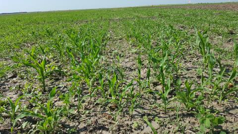 Volunteer corn in a soybean field