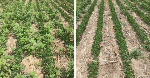 Photo comparison of 2 flelds with and without residual herbicide