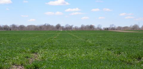 Healthy wheat field in early April