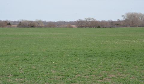 Winter wheat in early spring in southern Nebraska