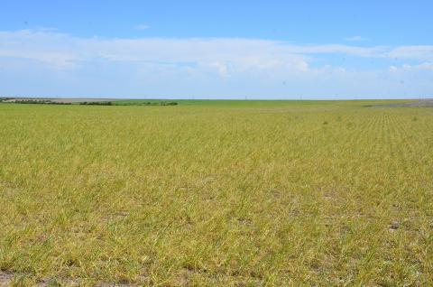 Wheat streak mosaic virus in wheat