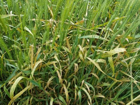 Dead or dying wheat flag leaves due to stripe rust