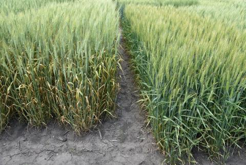 Figure 1.  A stripe rust susceptible (left) and resistant variety in a state variety trial in southeast Nebraska on June 3.