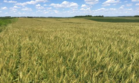 Eastern Nebraska wheat field that yielded more than 110 bu/ac.