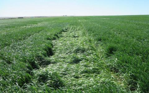Wheat variety trials exhibiting difference levels of storm damage