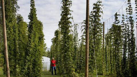 Stacy Adams examines hops on bines growing on Nebraska's East Campus. Adams is leading a multi-year, state-funded study to see if hops can be reliably grown and used as an alternative crop for farmers in the Cornhusker State. (Photos by Craig Chandler, University Communications)