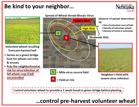 Inforgraphic showing how one field can serve as a green bridge for wheat curl mite and multiple viruses to a neighbor's field.