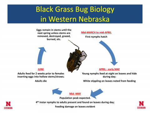 Life cycle of the black grass bug in western Nebraska