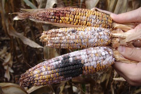 Ear rot diseases on three corn ears.