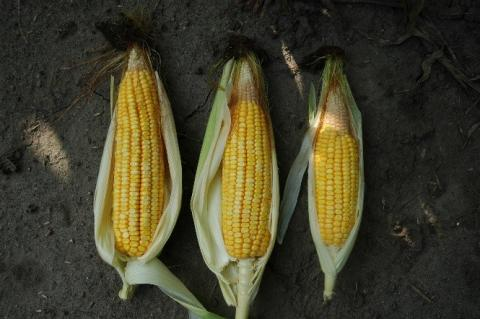 Abnormal corn ears