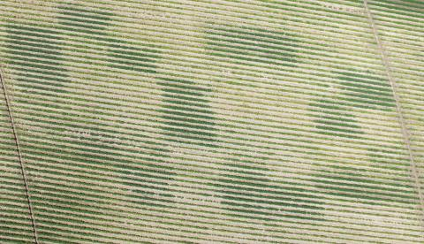 Figure 1. Aerial imagery was collected at bean emergence using a drone. All dark green rows correspond to plots with different rates of char (10, 20, 30, 40, and 60 tons/acre).