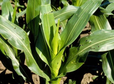 "European corn borer ""shot-hole"" damge to corn leaves"