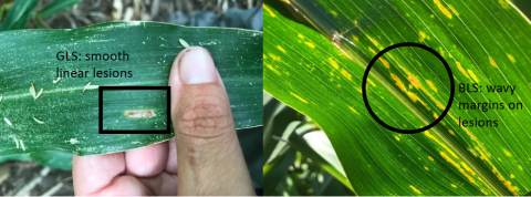 Comparison of lesions of gray leaf spot