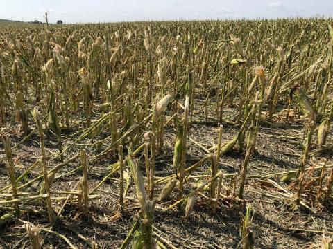 Hailed corn in Howard County Aug. 16, 2018