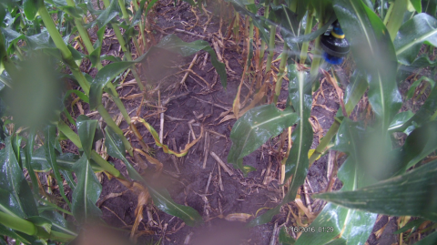 In-canopy center pivot sprinkler head entangled in the corn canopy
