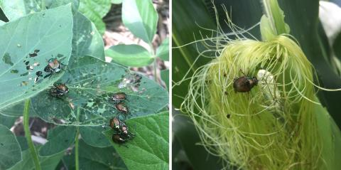 Figure 1. Japanese beetles will first feed on the leaves of soybean (left) or corn. In corn they'll move to the silks (right) when they become available. (Photos by Justin McMechan)