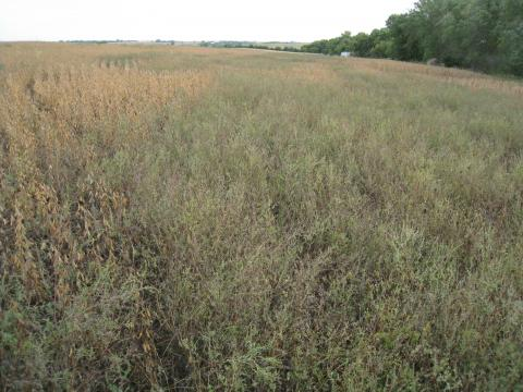 Figure 1. Season-long glyphosate-resistant common ragweed competition in a soybean field near Adams.