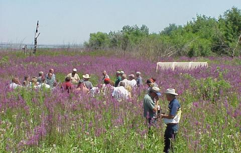 Field tour of purple loosestrife management study