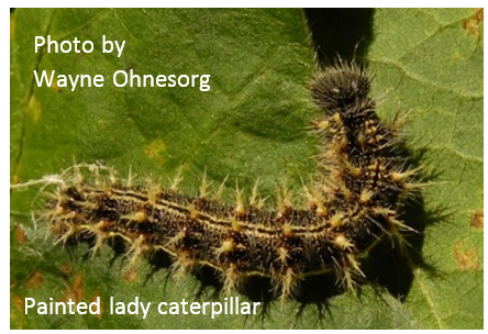 Painted lady caterpillar