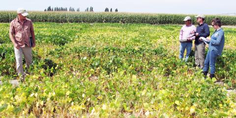 Figure 1. Researchers tour multiple dry bean variety plots at the Panhandle Research and Extension Center to identify favorable traits for varieties grown in Nebraska and elsewhere. (Photo by David Ostdiek)