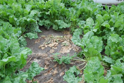 Figure 1. Complete and permanent collapse of sugarbeet petioles and leaves caused by Rhizoctonia Root and Crown Rot.