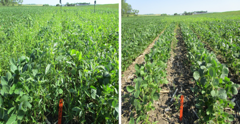 Field trial comparing timing of soybean weed management