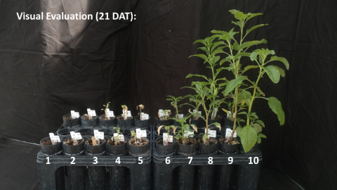Visual evaluation of waterhemp growth 21 days after an atrazine application.