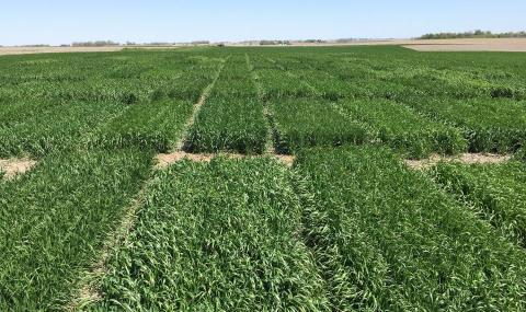 Wheat variety trials