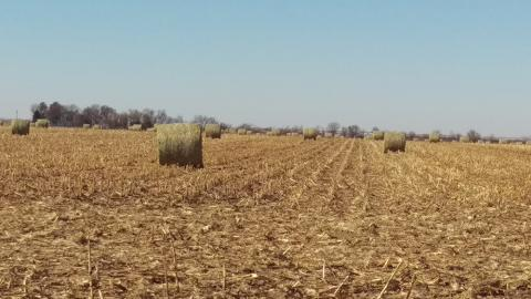 Large round bales of corn residue in the field