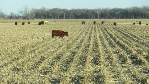 Cattle grazing a corn field