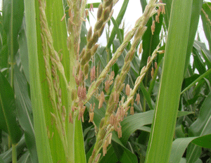 Corn at pollination